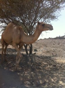 camel in al fujayrah UAE off-road trip