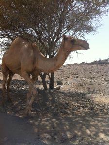 camel in al fujayrah UAE off-road trip